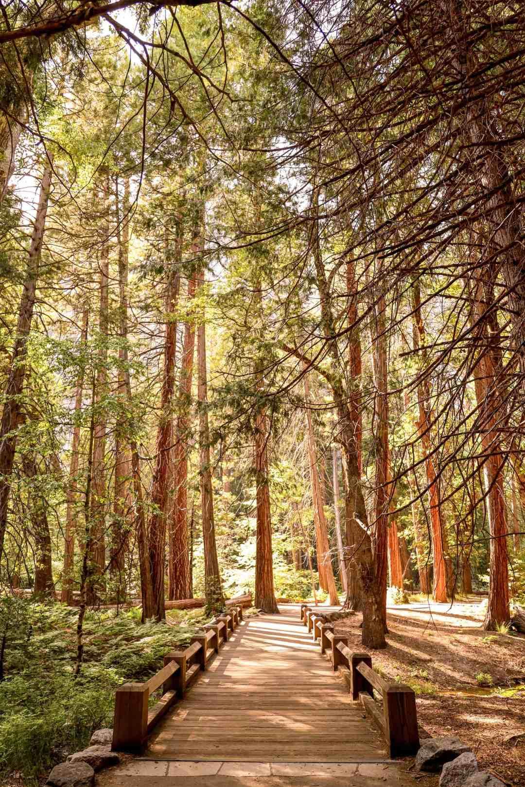 Sequoia Trees Yosemite National Park