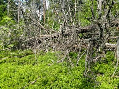 Gammelskog i Garphyttans nationalpark