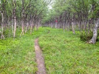 Fin björkskog på väg till Stensdalsstugorna