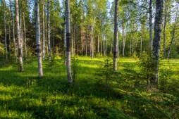 Gles björkskog vid Hällarna
