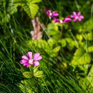 En vacker blomma vid Rävfallsstugan