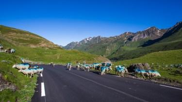 På vägen går det blå får.
