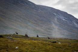 En grupp renar på platån under Låptåtjåhkå