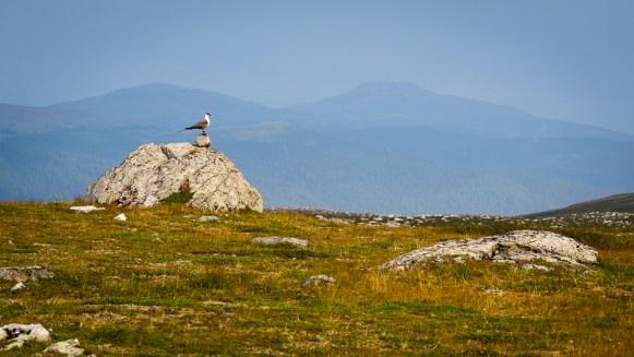 En fjällabb på en sten på Vállevárre
