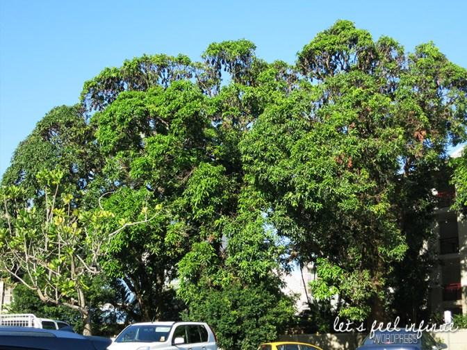 Cairns - L'arbre à chauve-souris