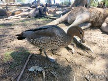 Lone Pine - Duck