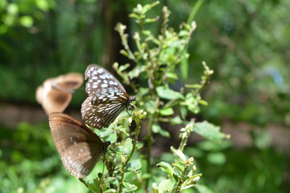 Butterflies at Habarana