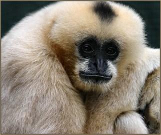 Gibbon-