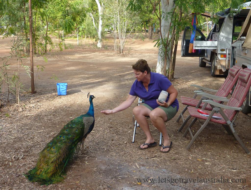 Friendly-Peacock