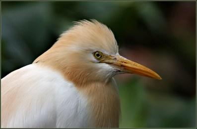 Cattle-Egret