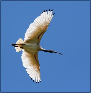 Flight-of-the-Ibis