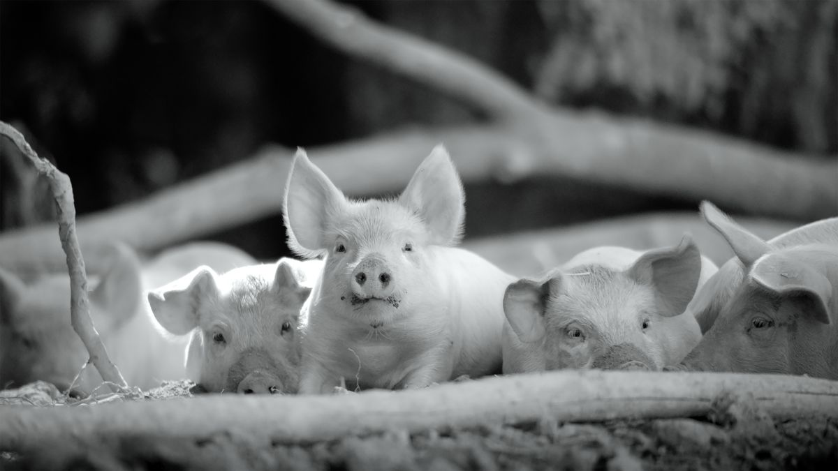 Gunda is an award winning documentary that celebrates animal life