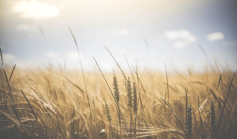 wheat field with sunny sky