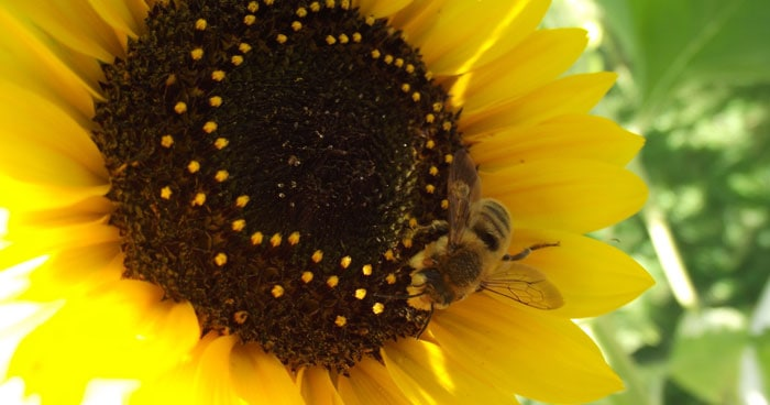 How to Plant a Honey Bee Garden With Kids *List of 10 bee-friendly flowers. Saving this for later.