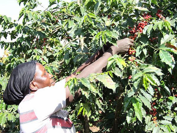 (圖片說明/Woman Harvesting Coffee, by coffee management services)