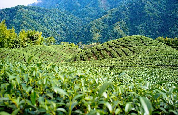 圖片來源:Vincent Chien @ Flickr ;鹿谷茶園一景