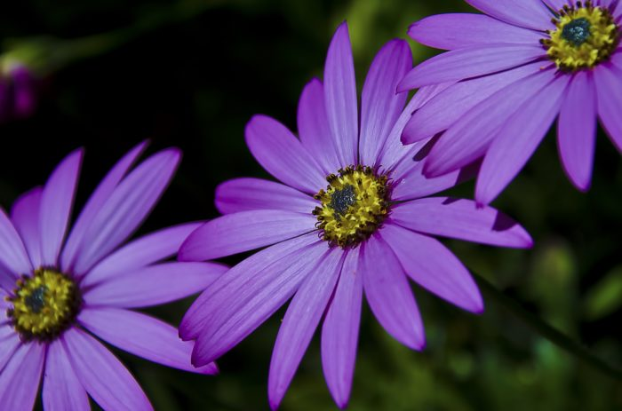 Close up of three purple flowers with yellow centers
