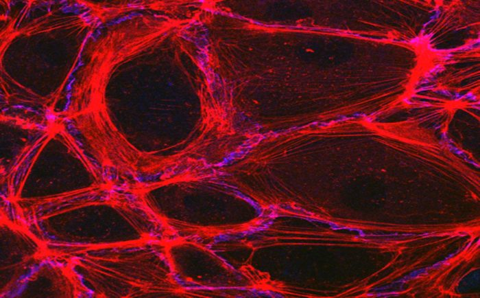 microscope image of the structure of blood vessel endothelium with the proteins that hold the shapes in red