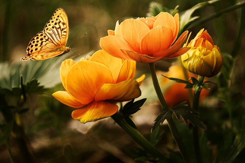 Beautiful yellow butterfly with large yellow and orange flowers.
