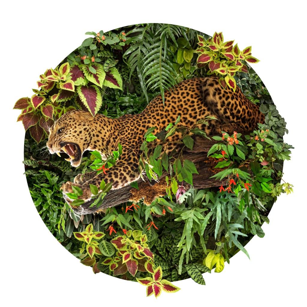 """""""Dans la mythologie maya, le jaguar était considéré comme le souverain des Enfers, et en tant que tel, un symbole du soleil nocturne et des ténèbres. Le jaguar est représentatif du pouvoir, de la férocité et de la bravoure; le pouvoir de faire face à ses peurs, ou d'affronter ses ennemis. Ils sont également associés à la vision, ce qui signifie à la fois leur capacité à voir pendant la nuit et à regarder dans les parties sombres du cœur humain. """" Nick Pedersen"""