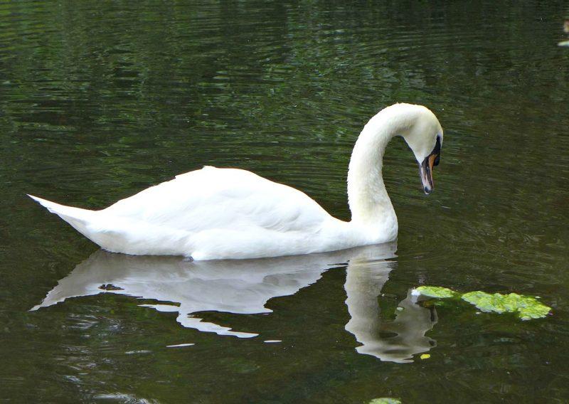 reddish vale mute swan