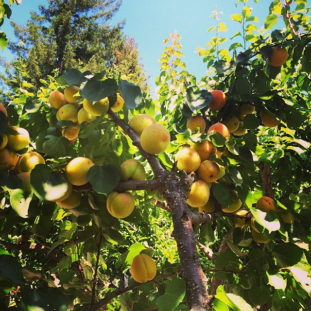 Backyard fruit shop #pinole #pinolehome #levasfarm #garden #apricottree #fruititup