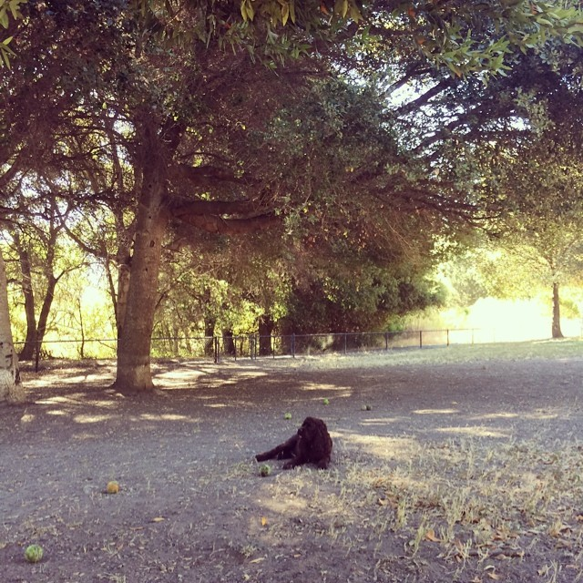 #lorka in heaven. After finding all missing balls in #pinoledogpark. The satisfaction on his face is #priceless
