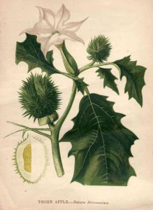 Thornapple illustration
