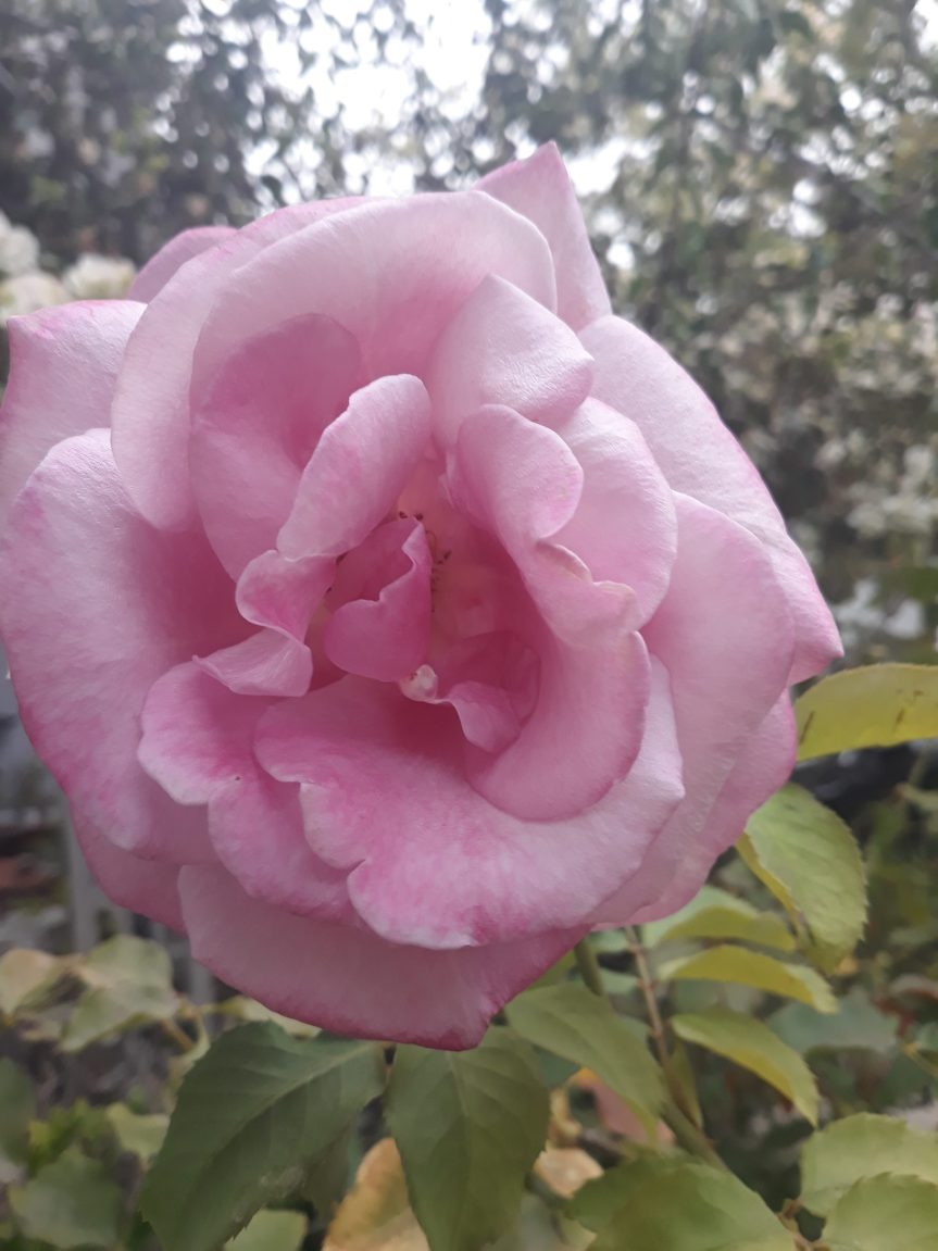 Pink Rose Blooming In My Yard | Leverage Ambition