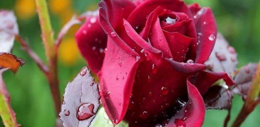 trandafirul pusa roth istorii si istorioare leviathan