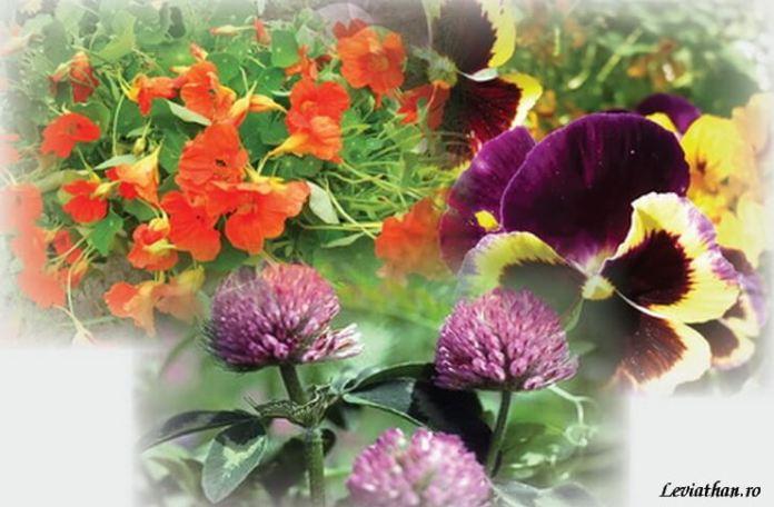 Pusa Roth plante-flori-folosite-in-bucatarie leviathan.ro