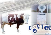 caragiale opere educatiunea sentimentala la vite cocioc peris. Grafică de Costin Tuchilă. jpg