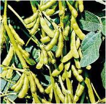 planta-de-soia