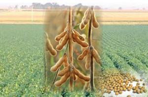 pusa roth soia-istoric-mancaruri-de-soia