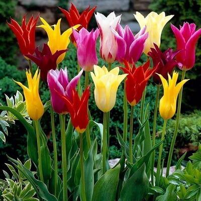 Tulipa gesneriana. Sursa foto: zengardentr.com