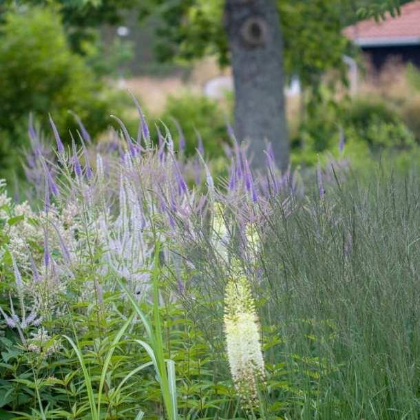 Perenner i violett och vitt i en park.