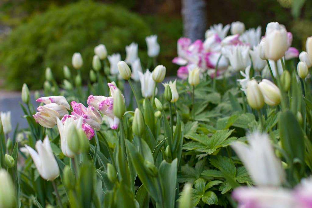 Lökar i vitt och rosa. Tulipa Webers Parrot bland vita tulpaner. Komponerad av trädgårdsdesigner Ulrika Levin.