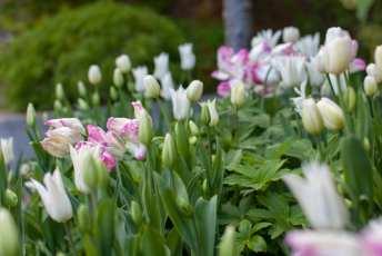 Lökar i vitt och rosa. Tulipa Webers Parrot bland vita tulpaner.