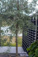 Levins Trädgård & Design. Silverpäron med spaljé.