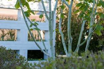 Närbild på den manchursika strimlönnens stammar, i vår trädgård.