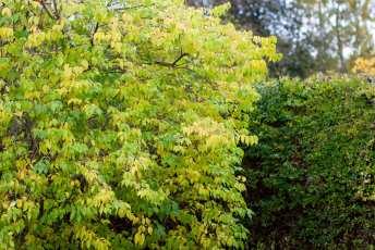 Lonicera maackii 'Kristall E' får en gul höstfärg.