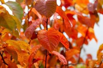 Prunus sargentii i härlig höstfärg.