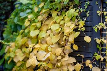 Hydrangea anomala ssp. petiolaris är smörgul i sin höstfärg.