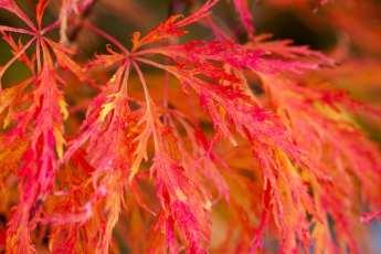 Brilliant höstfärg hos Acer palmatum 'Dissectum'.