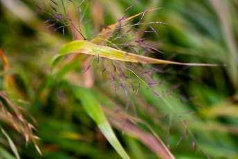 Hakonechloa macra är ett gräs med snygg höstfärg.