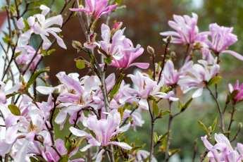 Leonard Messel, en magnolia med bedårande vårblomning.