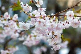 Sagolik vårblomning hos Prunus yeodensis.