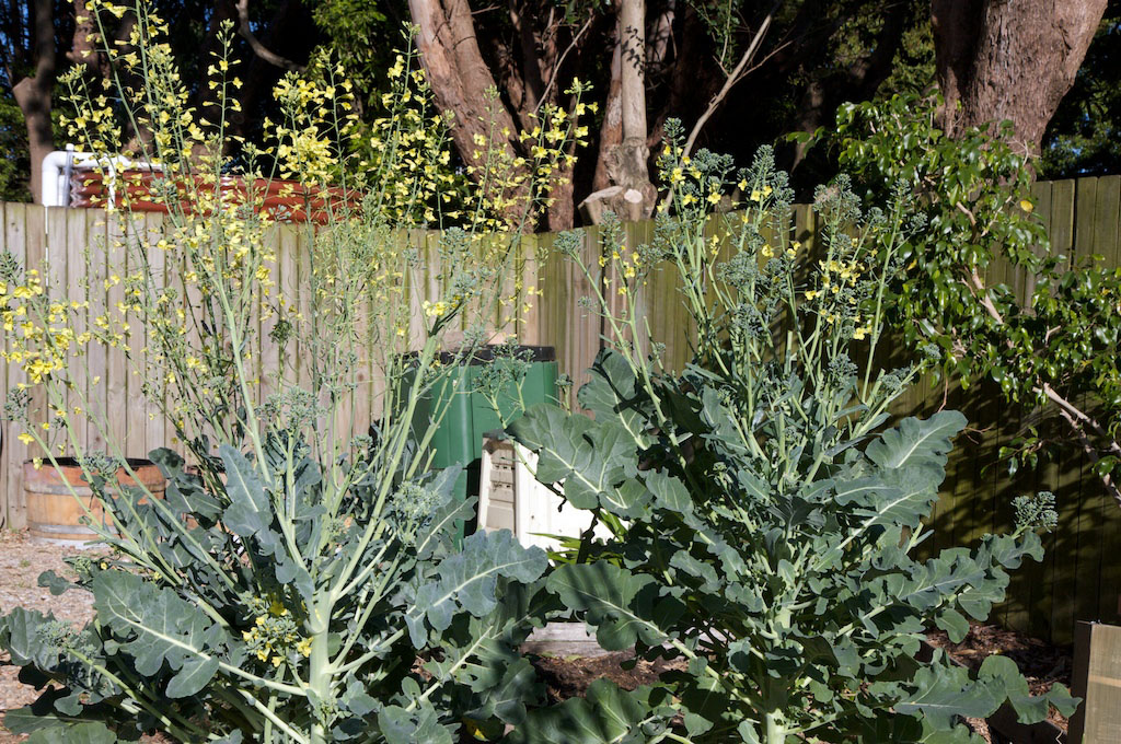 Broccoli in flower is an impressive sight
