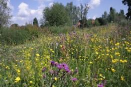 Chinbrook 'Meadow'
