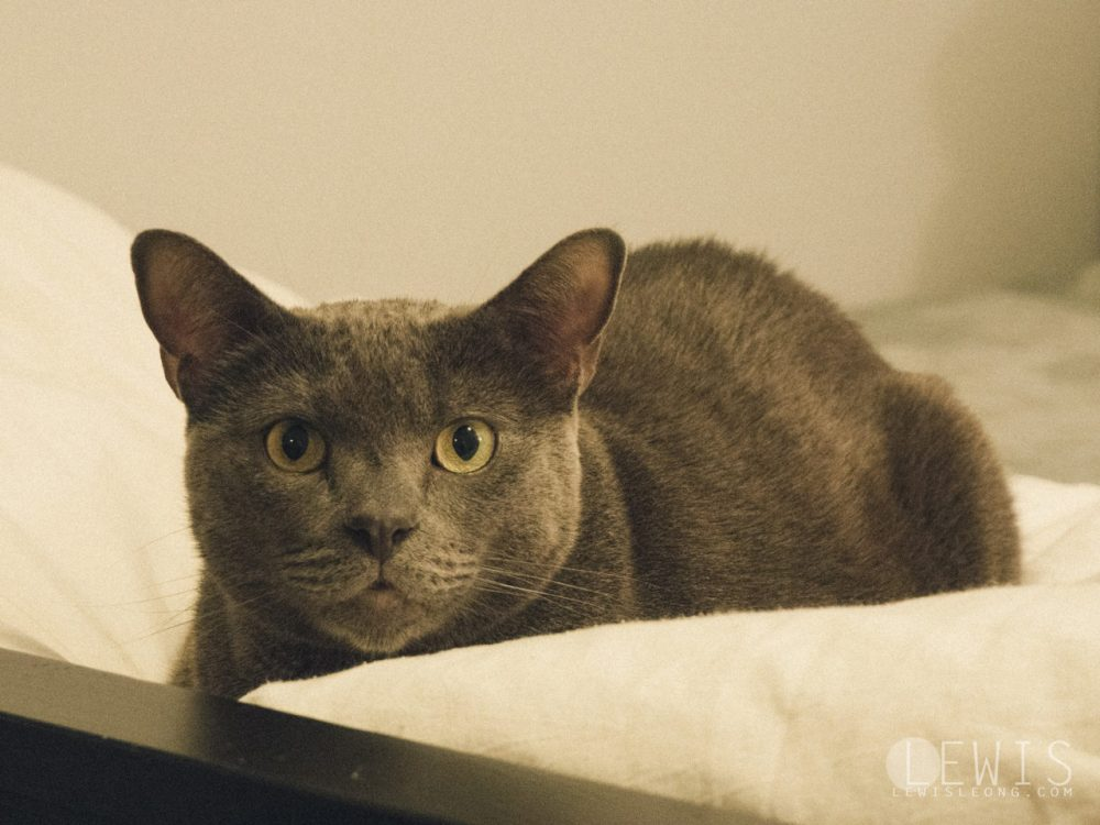 Ned the Russian Blue Cat